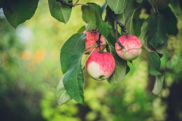 Vi beskär kronan för att det ska bli mer frukt
