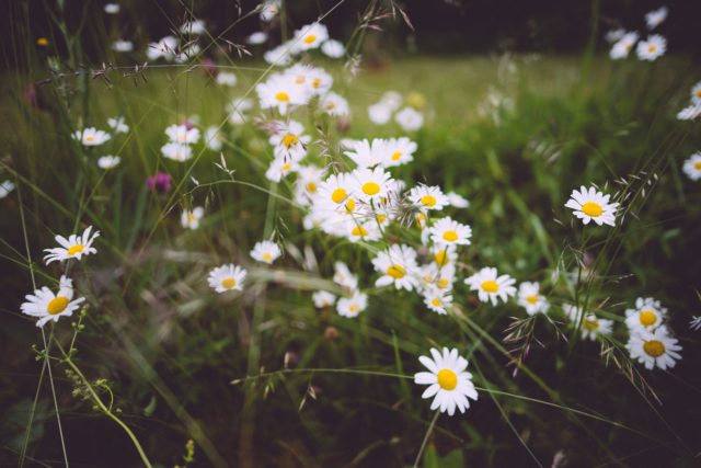 tusenskönor i gräset
