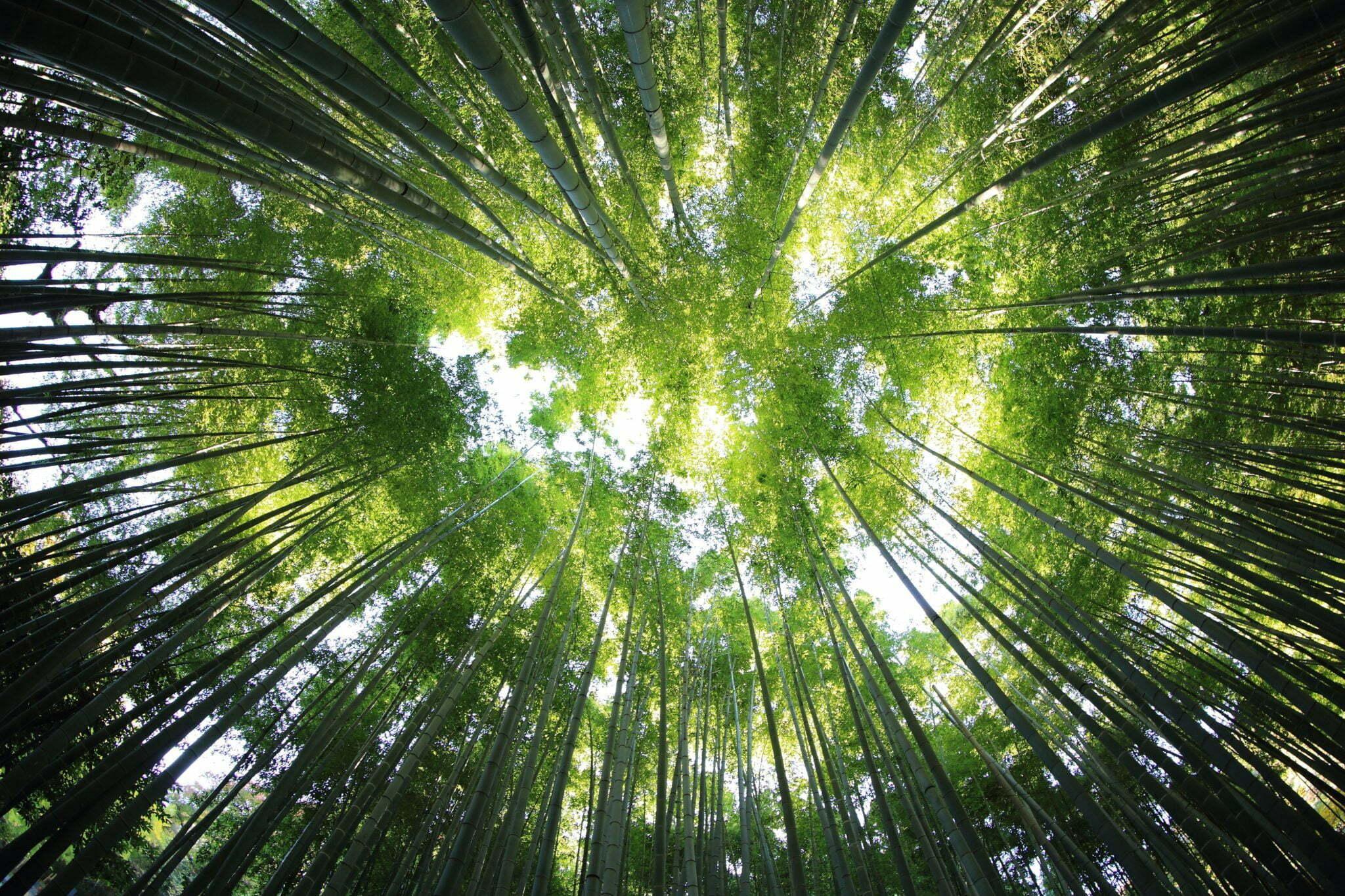 Trädkronor i solljus