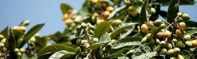 Närbild på ett fruktträd