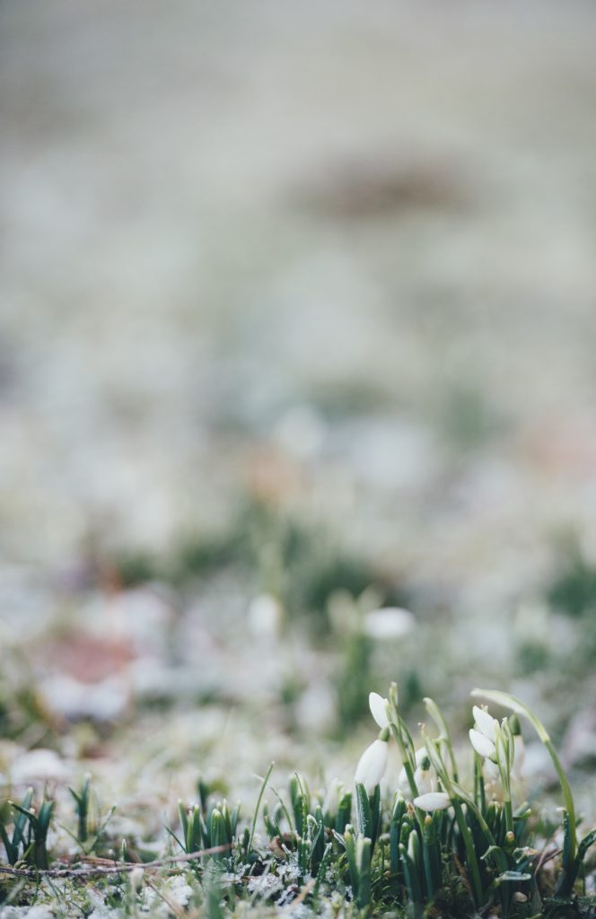 Snödroppar, bakgrundsbild