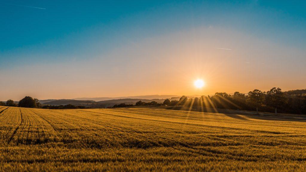 Soluppgång över ett moget vetefält