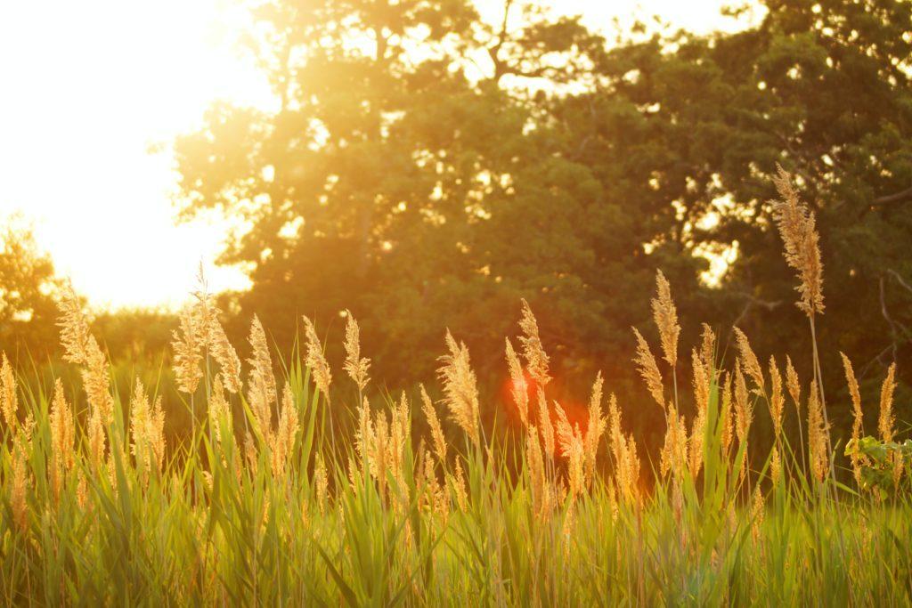 Gräs på en äng i motljus