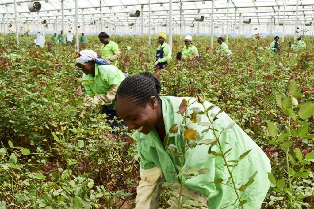 Kvinna i Kenya plockar rosor