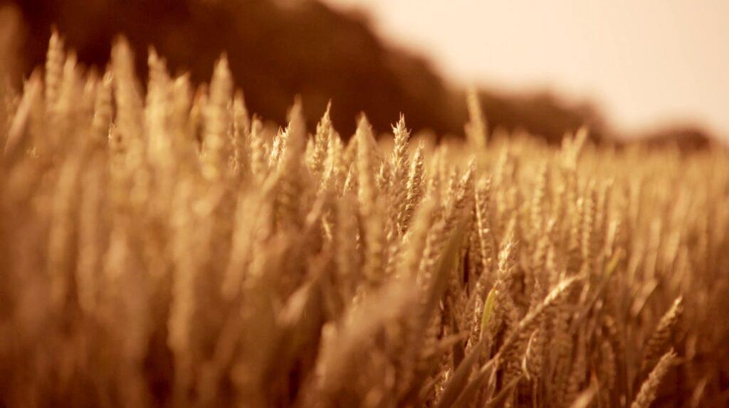 Fält med vete - Vetekornsdagarna