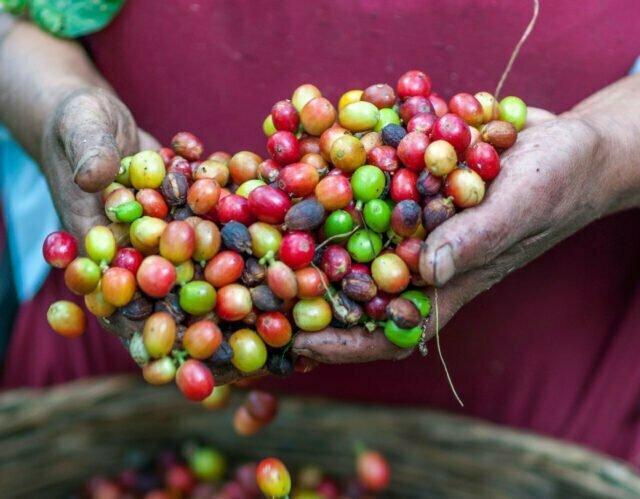 Händer som håller i kaffebönor